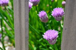 flowring chives