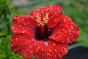 Red hibiscus just after rain