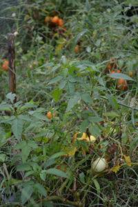 Roma tomatoes sprawling everywhere
