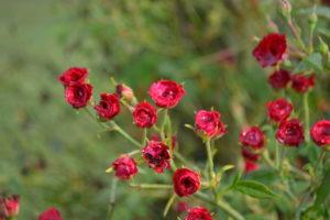 Red Cascade Climbing Roses
