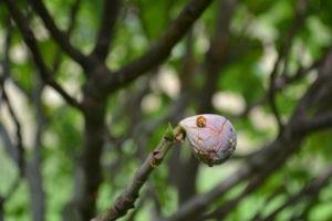 Ladybug on a fig