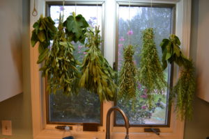 sage, rosemary, and fig leaves hanging in a kitchen window to dry