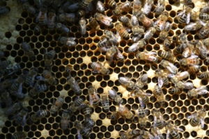 Honeybee comb with difficult to see newly laid eggs