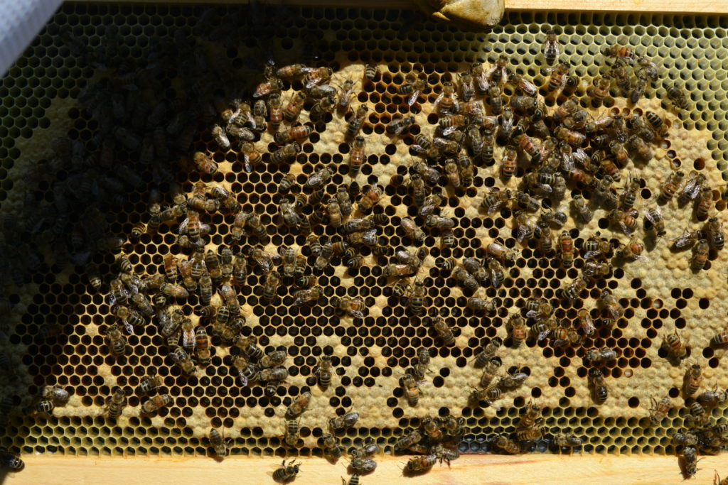 New Brood on a split hive frame
