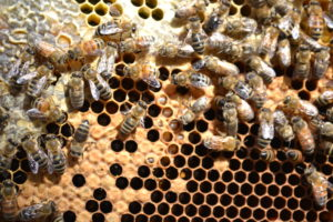 multiple uncapped brood cells in a honeybee hive