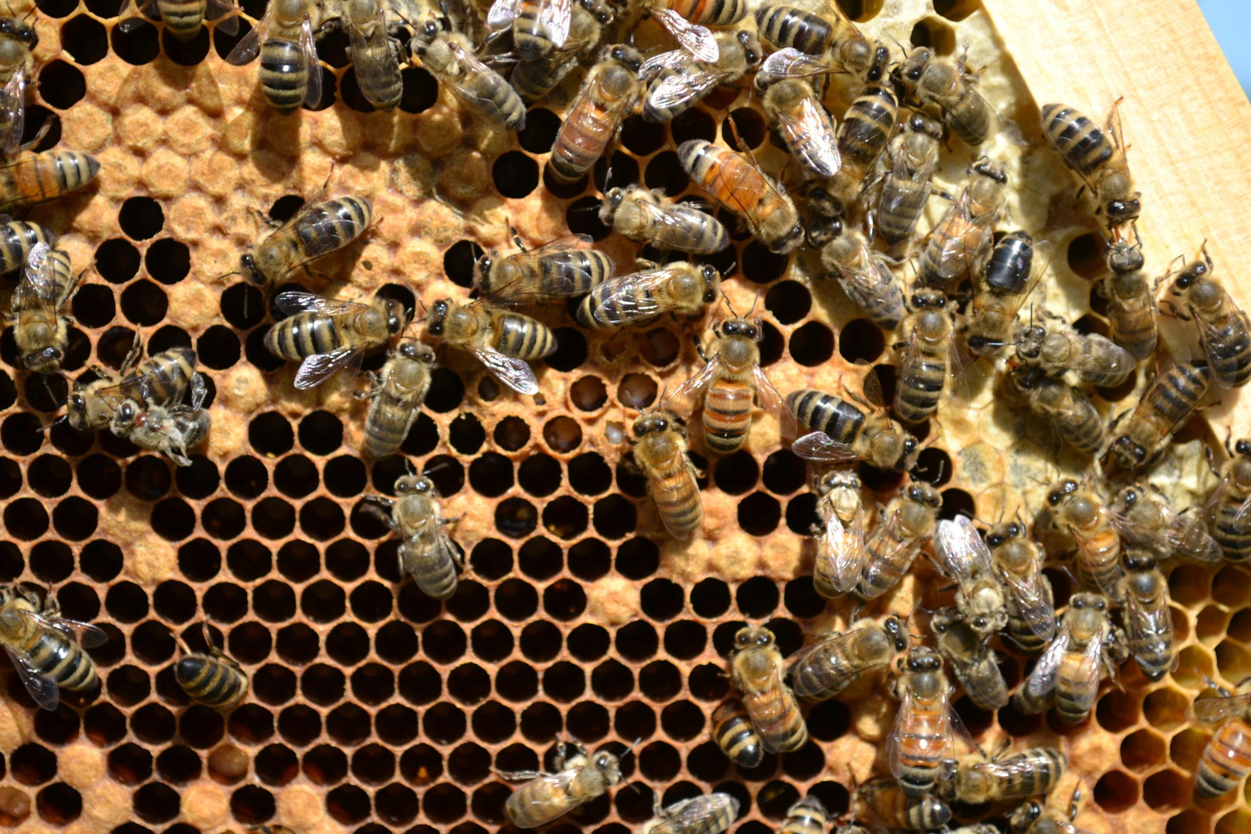 honeybees working a frame